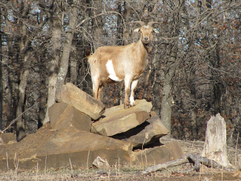 What is a Spanish/Kiko Cross Goat? - Meat Goat Blog