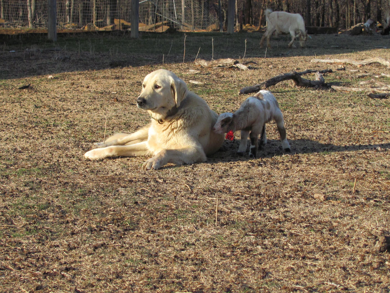 Farmer Can Shoot Dogs
