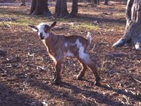 Prices as High as This Little Goat's Ears!