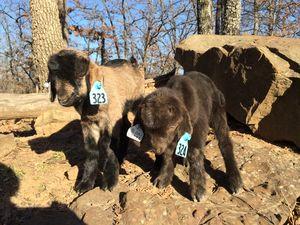 Cute Goat Kids!