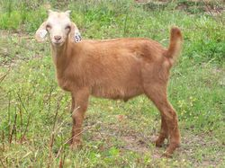 Sell Goats as Bucks or Wethers?
