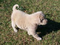 Anatolian Shepard Puppy