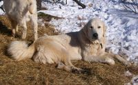 Livestock Guardian Dog For Sale Ads