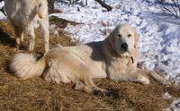 Livestock Guardian Dog For Sale Ads