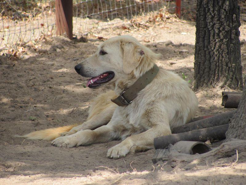 Anatolian Livestock Guardian Dog