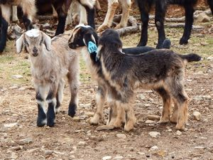2014 Kensing Spanish Goat Kids