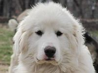Great Pyrenees, Akbash mix