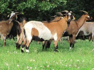 Hardy Spanish Meat Goats