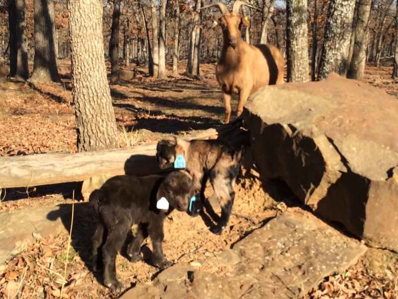 Post Oak Line Doe Raising Twin Doelings