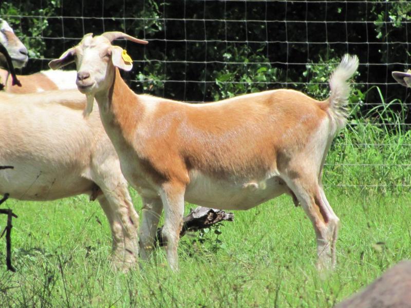 Post Oak Breeding Line Doe