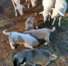 Anatolian Livestock Guardian Puppies For Sale in Alabama