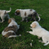Livestock Guardian Pups For Sale in Wisconsin