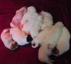 Great Pyrenees Puppies For Sale in Wisconsin