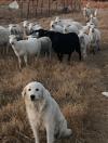 3:4 Great Pyrenes and 1:4 Komondor Livestock Guardian Dog For Sale in Arkansas