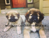 Caucasian Shepherd Livestock Guardian Puppies For Sale In Idaho