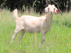 Yearling Spanish Kiko Cross