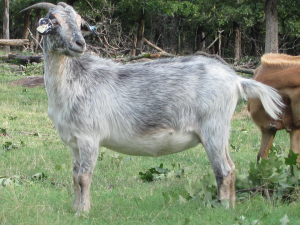 Post Oak Line Goats are Parasite Resistant