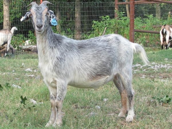 good body size in goats