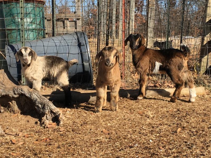 Post Oak Ranch 2017 Goat Kids