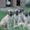 Turkish Kangal Livestock Guardian Puppies For Sale in North Carolina