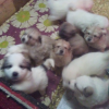 Great Pyrenees Livestock Guardian Puppies For Sale in Massachusetts