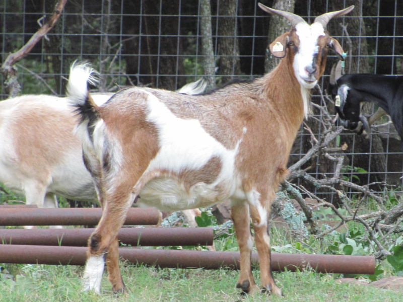 Post Oak Spanish Goats are Low-Maintenance