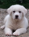 Great Pyrenees Livestock Guardian Puppy For Sale in Iowa