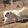 AKC Registered Great Pyrenees Livestock Guardian Dog For Sale In Kansas