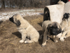 Anatolian Livestock Guardian Puppies For Sale in Kansas