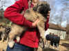 Great Pyrenees  Sarplaninac  Leonberger Cross Livestock Guardian Puppies For Sale in Missouri